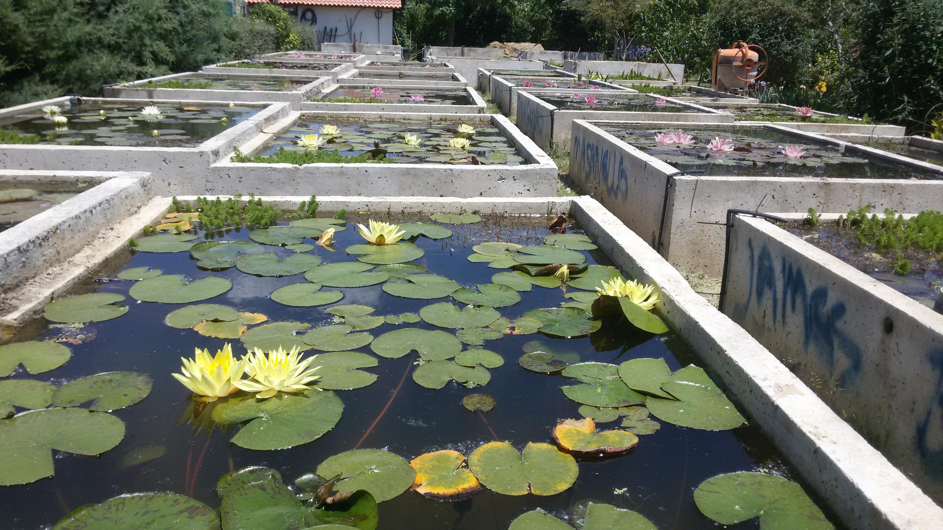 Vivero los nenufares nenufares de calidad en nuestro vivero for Imagenes de estanques para ninos